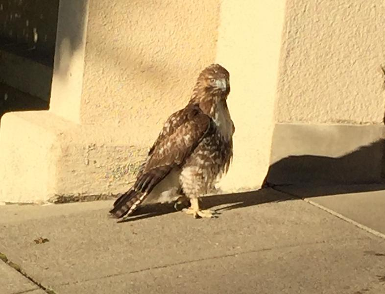 Animals services responded to the Paly administration's call about an injured Cooper's hawk on campus. Photo by Paul Kandell.